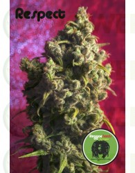 Respect (Reggae Seeds) Regular,