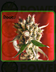 Roots (Reggae Seeds) Regular