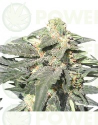 Semillas Royal Haze Automatic Feminizadas Cannabis Autofloreciente de Royal Queen Seeds