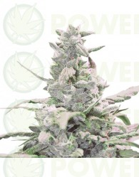 Royal Creamatic (Royal Queen Seeds) Semilla Autofloreciente cannabis-marihuana Feminizada