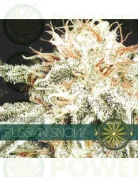 Russian Snow Vision Seeds