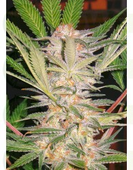 S.A.D. S1 (Sweet Afgani Delicious) Sweet Seeds