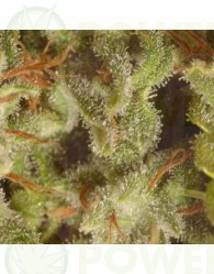 Sativa Champions Pack (Paradise Seeds)