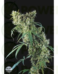 Super Silver (Dinafem Seeds)