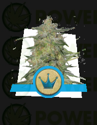 Royal Highness CBD Feminizada (Royal Queen Seeds)