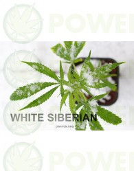 White Siberian (Dinafem)