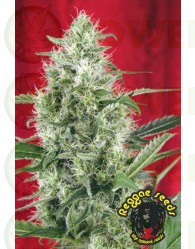 Session (Reggae Seeds) Regular