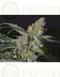 Shark Feminizada (CBD Seeds)
