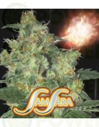 Shot Adrenaline (Samsara Seeds) Semilla Automatic Cannabis