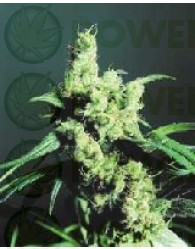 Silver Haze Regular (Sensi Seeds)