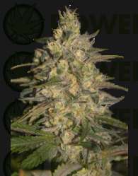 Silver Jack (SeedMakers)