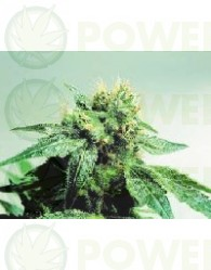 Silver Pearl (Sensi Seeds) Regular