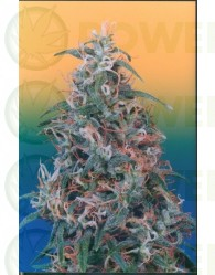 Skunk Passion Regular (Dutch Passion Seeds)