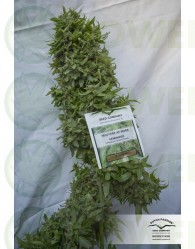 Snow Bud (Dutch Passon Seeds)