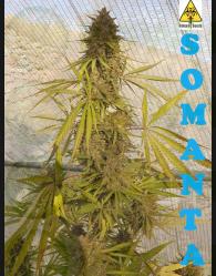Somanta Feminizada (Biohazard Seeds)