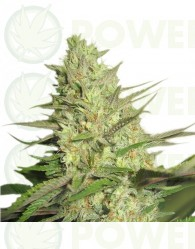 Special Queen #1 Feminizada (Royal Queen Seeds)