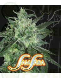 Spicy White Devil (Samsara Seeds)