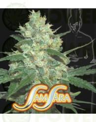 Spiritual Punk (Samsara Seeds)