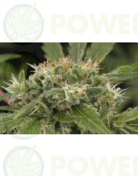Strawberry Amnesia Feminizada (Dinafem Seeds)