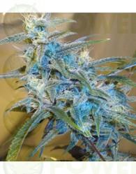 SugarLoaf Feminizada (Cannabiogen Seeds)
