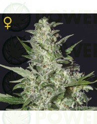 Super Critical Auto (Greeen House Seeds) Semilla