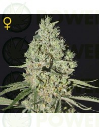 Super Critical (Greeen House Seeds)