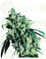 Super Skunk Regular Sensi Seeds