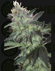Super Diesel Feminizadas (SeedMakers)