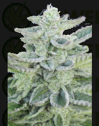 Super Kush (SeedMakers) Semilla 100% hembras