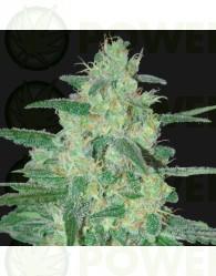 Sweet Black Angel (Samsara Seeds)