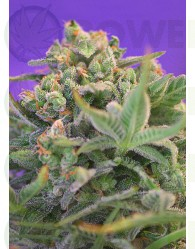 Sweet Cheese Feminizada (Sweet Seeds)