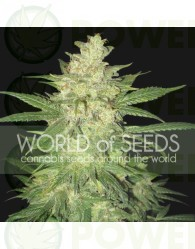 Sweet Coffee Ryder Auto (World of Seeds)