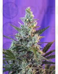 Sweet Skunk Autofloreciente (Sweet Seeds)