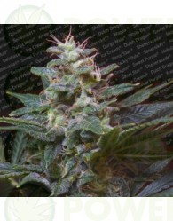 Sweet Purple (Paradise Seeds) Feminizada
