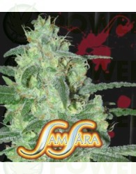 Thunder Bloody Mary (Samsara Seeds)