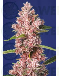 Tropicanna Poison F1 Fast Version (Sweet Seeds) Feminizada