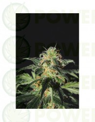 UK Cheese (Shaman Genetics) Semilla Feminizada Cannabis
