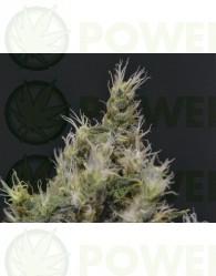 Vanilla Haze (CBD Seeds) Semilla FEminizada