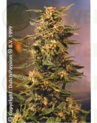 Voodoo (Dutch Passion Seeds)