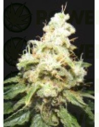 Wacky Widow (Makka Seeds) Semilla Feminizazda Cannabis