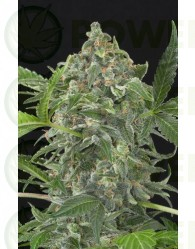 White Cheese Automatic (Dinafem)