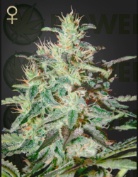 White Lemon Feminizada -Strain Hunters-