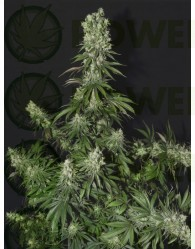 white strawberry skunk strain hunters seeds female.
