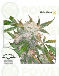 White Widow Feminizada (Dutch Passion)