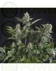 White Widow Feminizada (Pyramid Seeds)