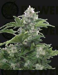 White Dwarf Auto Regular (Buddha Seeds)