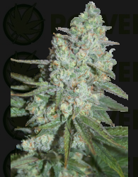 Wonder Skunk (SeedMakers) Semillas 100% Feminizadas
