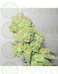 Y Griega CBD (Medical Seeds) Feminizada