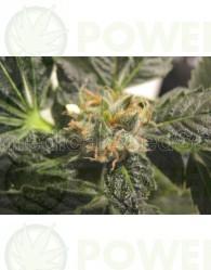 Y Griega (Medical Seeds) Feminizada