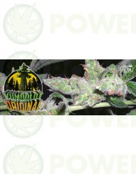 Yumboldt Original (Feminizada) The Doctor Seeds